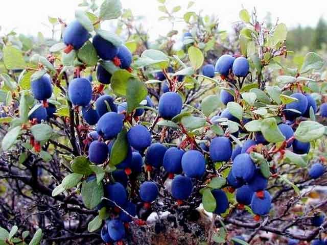 Голубика описание, размножение, свойства, вред, фото