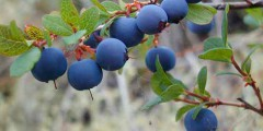 Голубика описание, размножение, вред, фото