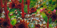 Цветы молодило — каменная роза посадка, уход, фото