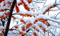 Облепиха описание, размножение, свойства, фото, облепиха зимой
