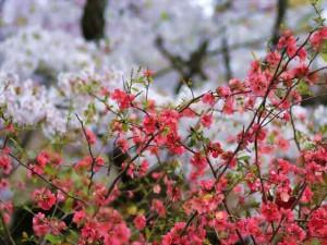Айва японская, хеномелес фото
