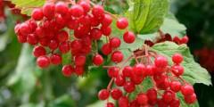 Ягода калина красная полезные лекарственные свойства, применение и противопоказания