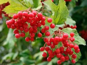 Ягода калина красная полезные лекарственные свойства, применение и противопоказания. Фото