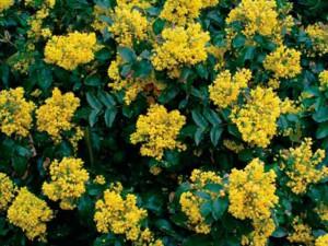 Фото магонии падуболистной цветы.