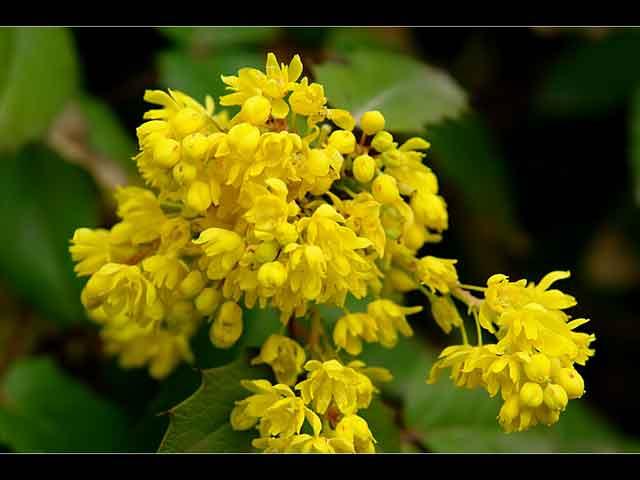 цветок магония