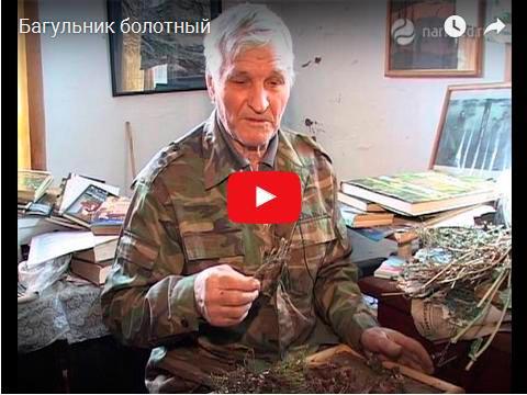 Видеофильм про применение, сбор и лечебные свойства багульника болотного