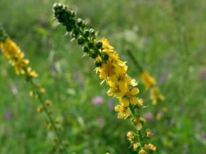Рецепты применения травы репешок обыкновенный, противопоказания. Фото.