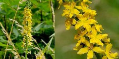 Репешок обыкновенный - лекарственное растение, применение. Фото.