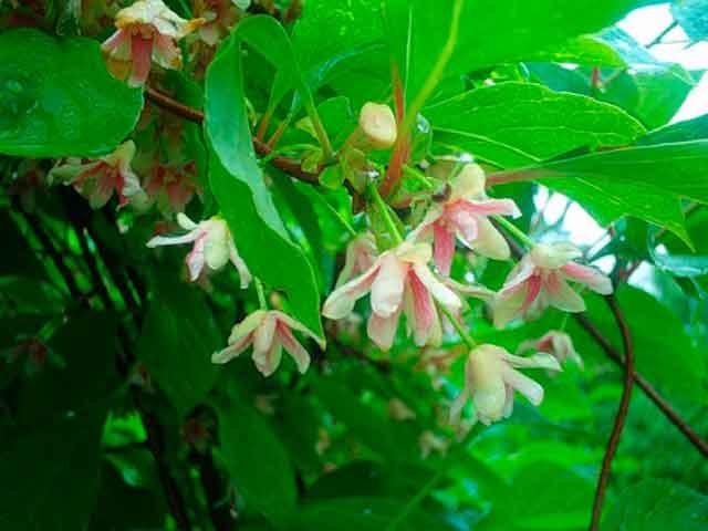 Китайский лимонник цветы