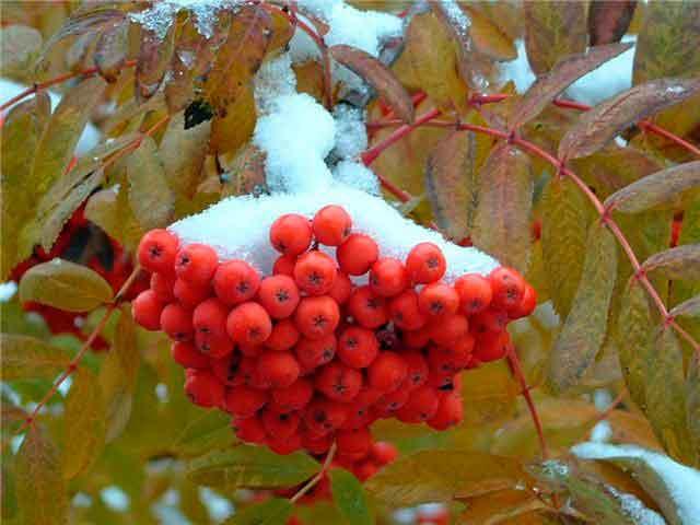 Рябина обыкновенная зимой. Фото.