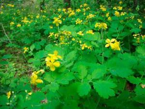 Лекарственные травы и растения, фото
