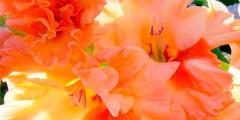 Цветы гладиолусы описание, посадка, сорта. Фото
