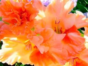 Цветы гладиолусы фото