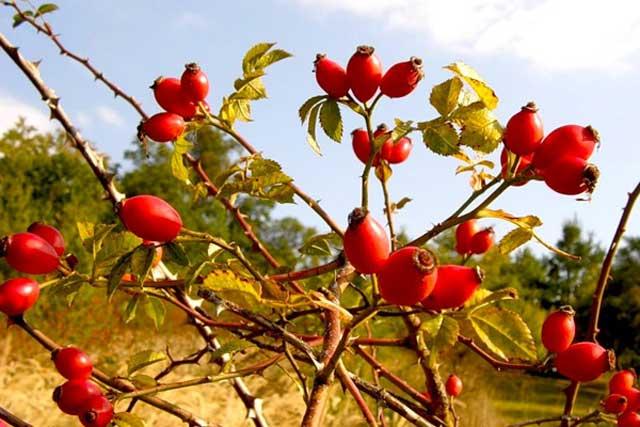 Шиповник описание растения, его лечебные полезные свойства, применение шиповника при различных заболеваниях. Шиповник фото
