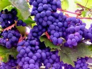 Виноград выращивание, сорта, размножение, посадка. Фото.