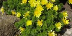 Адонис весенний лечебные свойства, рецепты применения. Фото