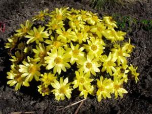 Адонис весенний свойства. фото