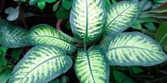 Цветы диффенбахия - комнатное растение, размножение, уход, фото