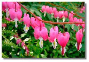 Цветы дицентра - посадка, уход, выращивание и фото