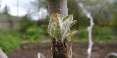 Вегетативное размножение подвоев. Фото.