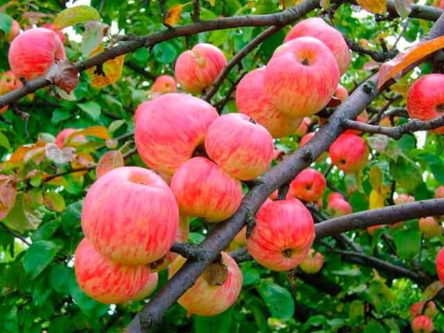 Полезные свойства яблок, причины их есть каждый день. Фото