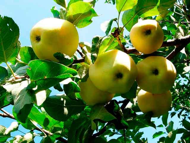 В чем польза яблок, почему яблоки стоит употреблять каждый день. Фото