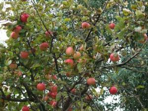 Яблоня фото и описание