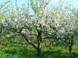 Яблоня сорта и фото