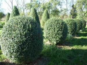 Бирючина обыкновенная - живая изгородь. Фото