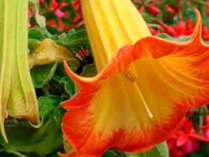 Трава дурман обыкновенный, свойства, фото цветов