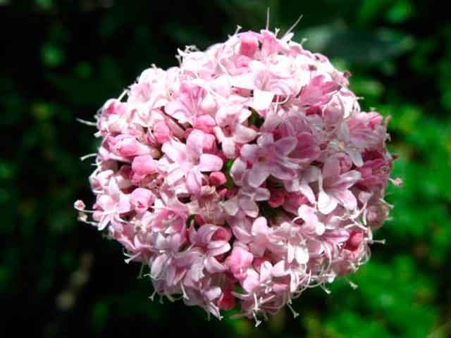 Валерианы цветы