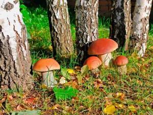 Белый гриб фото, описание