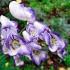 Аконит джунгарский лекарственное растение, фото