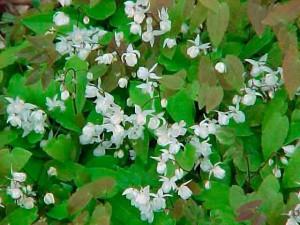 Трава горянка, лечебные свойства, фото