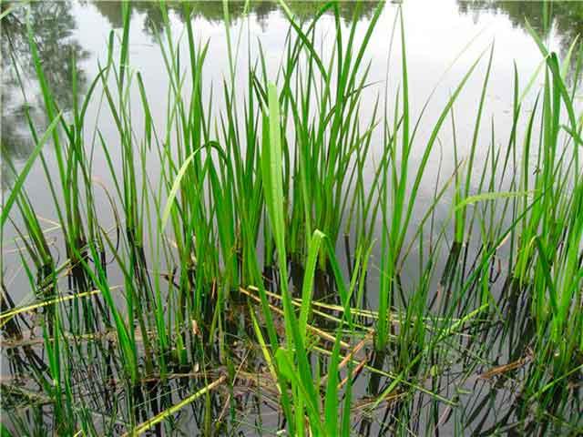 Аир болотный или ирный корень. Описание, применение, заготовка и сушка. Аир фото.