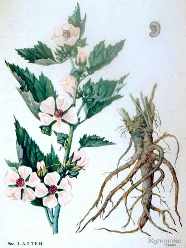 Алтей лекарственный корень описание и фото
