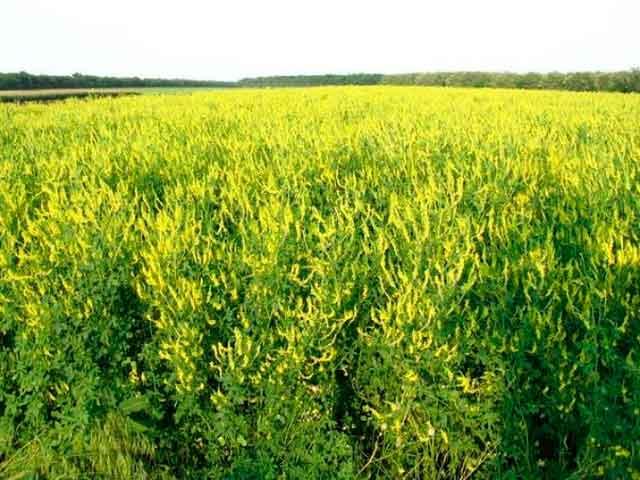 Трава донник лечебные свойства фото