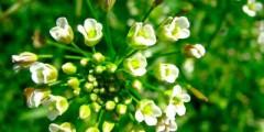 Трава пастушья сумка лечебные свойства, применение. Фото