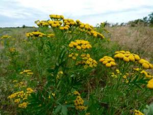 Трава пижма полезные лекарственные свойства. Фото