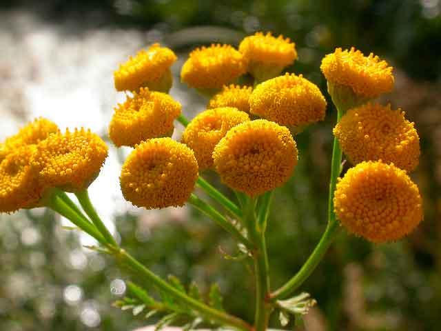 Пижма цветки лечебные свойства