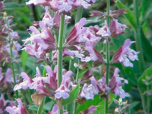 Трава шалфей лекарственные и лечебные свойства, применение, фото