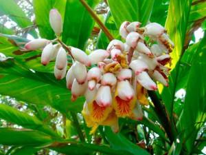 Цветы имбиря фото