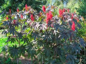 Растение клещевина свойства, применение, фото