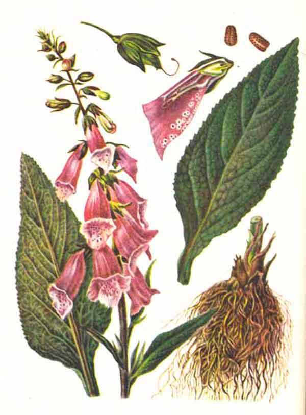 Листья наперстянки пурпурной