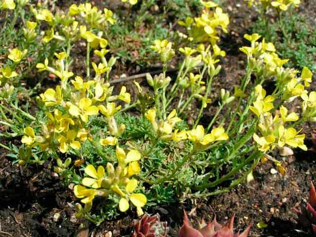 трава желтушник