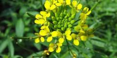 Трава желтушник серый свойства, применение, фото