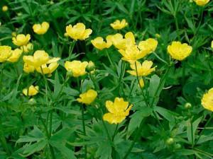Цветок лютик лечебные свойства, применение, фото