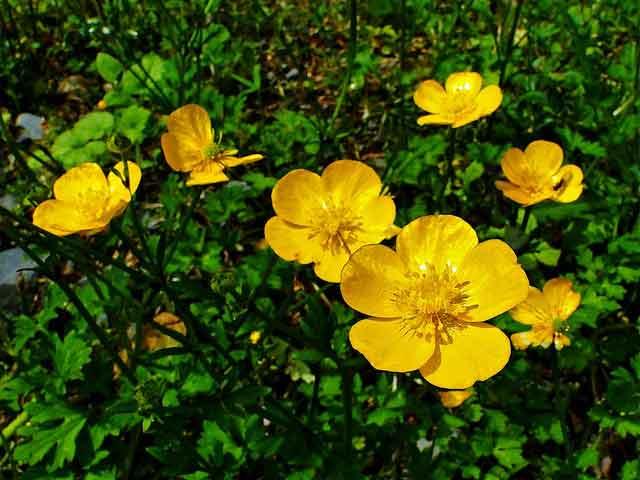 Лютики цветы фото