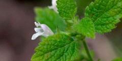 Мелисса лекарственная трава свойства, применение, фото