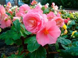 Комнатные цветы выращивание и фото. Бегония